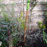 Salix purpurea 'Nana' - Bitterwilg, Purperwilg - Salix purpurea 'Nana'