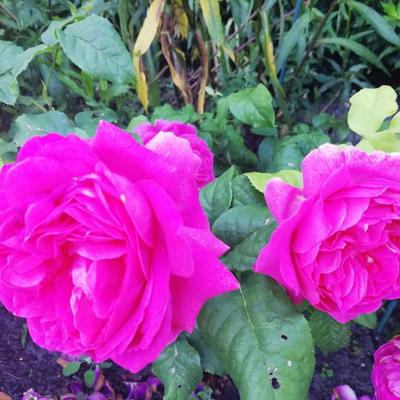 Rosa 'Young Lycidas' -