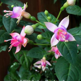 Fuchsia 'Bon Accord'