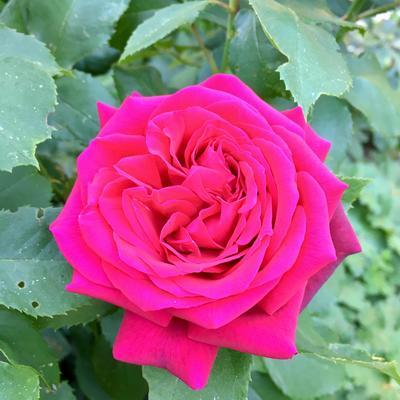 Rosa ''Gräfin Diana' -