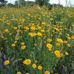 Anthemis tinctoria - Anthemis tinctoria - Gele kamille