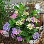 Hydrangea macrophylla 'MAGICAL Four Seasons' - Hortensia