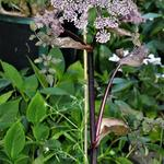 Angelica sylvestris 'Vicar's Mead' - Angelica sylvestris 'Vicar's Mead' - Bosengelwortel