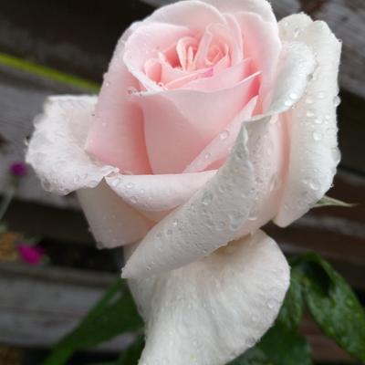 Rosa 'Prince Jardinier' -
