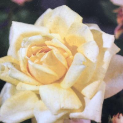 Rosa 'Golden Perfume' - Roos
