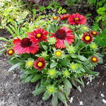Gaillardia aristata 'SPINTOP Red' - Gaillardia aristata 'SPINTOP Red' - Kokardebloem