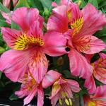 Alstroemeria 'LITTLE MISS Rosalind' - Incalelie