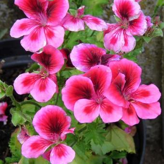 Pelargonium 'CANDY FLOWERS Pink With Eye'