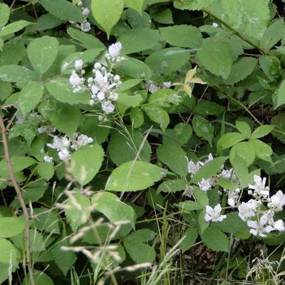 Rubus fruticosus - Gewone braam - Rubus fruticosus