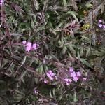 Verbena officinalis var. grandiflora 'Bampton - IJzerhard - Verbena officinalis var. grandiflora 'Bampton