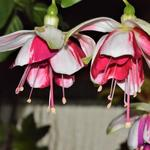 Fuchsia 'Satellite' - Bellenplant
