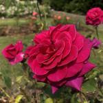 Rosa 'Blackberry Nip' - Roos - Rosa 'Blackberry Nip'