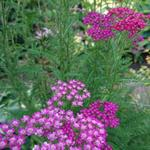 Duizendblad - Achillea millefolium 'Saucy Seduction'