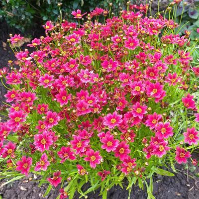 Coreopsis rosea 'TWINKLEBELLS Red' -