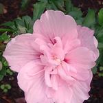 Hibiscus syriacus 'Pink CHIFFON' - Altheastruik - Hibiscus syriacus 'Pink CHIFFON'