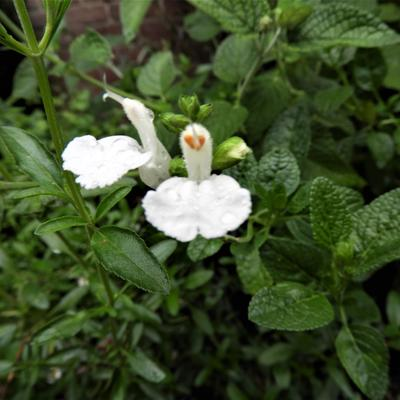 Salvia 'Walsingham White' -