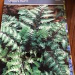 Athyrium niponicum 'Ursula's Red'  - Athyrium niponicum 'Ursula's Red'  - Japanse regenboog