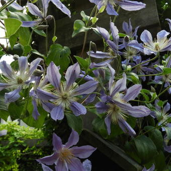 Clematis 'Blue River'