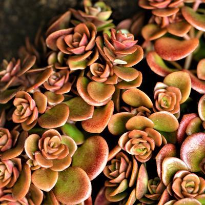 Sedum tetractinum 'Coral Reef' -