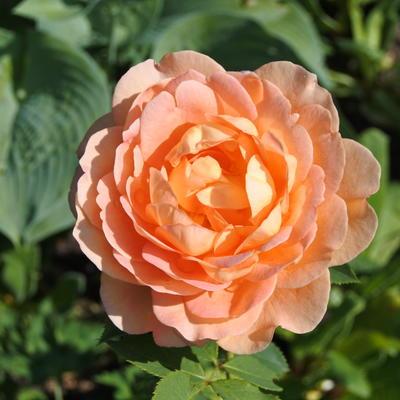 Rosa 'Lady of Shalott' -