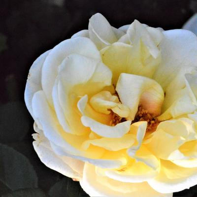 Rosa 'Oh Happy Day' - Roos