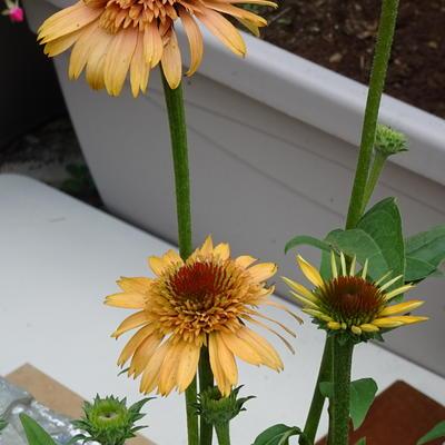 Echinacea 'SUPREME Cantaloupe' -