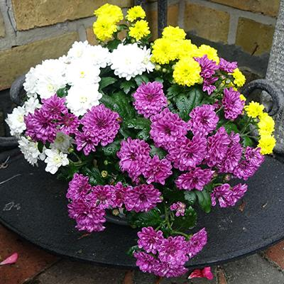 Chrysanthemum x morifolium -
