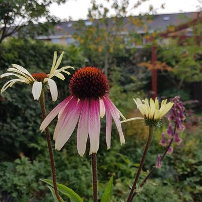 Echinacea 'JS Engeltje' -