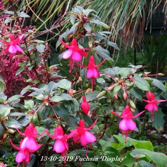 Fuchsia 'Display'