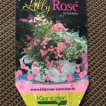 Rosa 'LillyRose Wonder 5' -