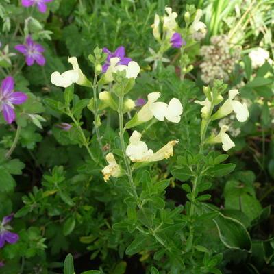 Salvia greggii 'Lemon Light' -