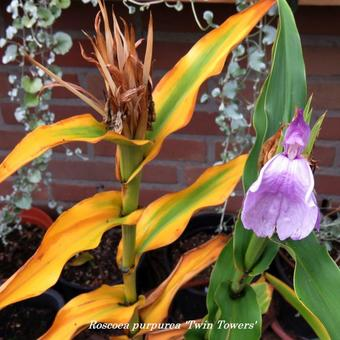 Roscoea purpurea 'Twin Towers'