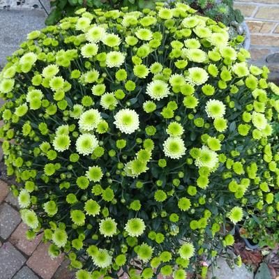 Chrysanthemum SANTINI 'Country' -