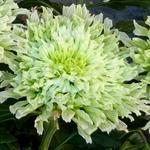 Chrysanthemum 'Osorno' - Chrysanthemum 'Osorno' - Troschrysant