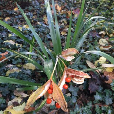 Iris foetidissima  - Stinkende lis, iris - Iris foetidissima