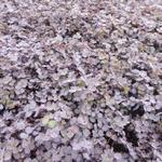 Acaena inermis 'Purpurea' - Acaena inermis 'Purpurea' - Stekelnootje