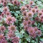 Acaena microphylla 'Dichte Matte' - Stekelnootje - Acaena microphylla 'Dichte Matte'