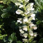 Acanthus mollis 'Rue Ledan' - Stekelige berenklauw - Acanthus mollis 'Rue Ledan'