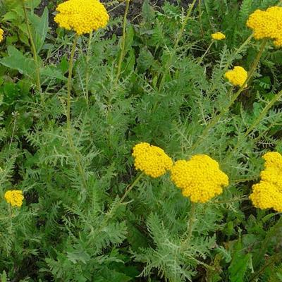Achillea filipendulina 'Cloth of Gold' - Guldenroede