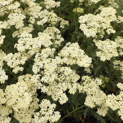 Achillea millefolium 'Alabaster' -