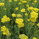 Achillea filipendulina 'Coronation Gold' - Achillea filipendulina 'Coronation Gold' - Duizendblad