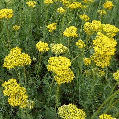 Achillea filipendulina 'Coronation Gold' -