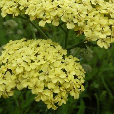 Achillea millefolium 'Hella Glashoff' -