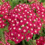 Achillea millefolium 'Petra' - Duizendblad - Achillea millefolium 'Petra'