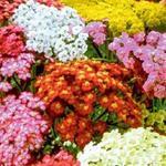 Achillea millefolium 'Summer Pastels' - Duizendblad - Achillea millefolium 'Summer Pastels'