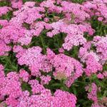 Achillea millefolium 'Excel' - Duizendblad - Achillea millefolium 'Excel'