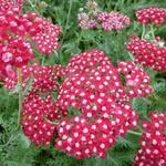 Achillea millefolium 'Laura' - Duizendblad - Achillea millefolium 'Laura'