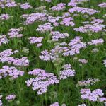 Achillea millefolium 'Lilac Beauty' - Achillea millefolium 'Lilac Beauty' - Duizendblad