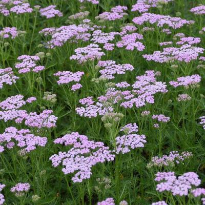 Achillea millefolium 'Lilac Beauty' -