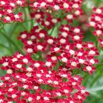 Achillea millefolium 'Peggy Sue' - Duizendblad - Achillea millefolium 'Peggy Sue'